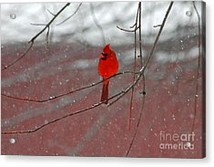 Acrylic Print featuring the photograph Cardinal In Winter by Olivia Hardwicke