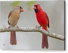 Cardinal Interlude Acrylic Print by Bonnie Barry