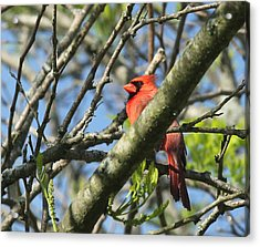 Cardinal  Acrylic Print by James Hammen