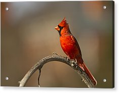 Acrylic Print featuring the photograph Cardinal by Jerry Gammon