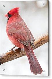 Cardinal Male In Winter Acrylic Print by A Gurmankin
