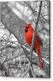 Cardinal Of Hope 002sc Acrylic Print by Robert ONeil