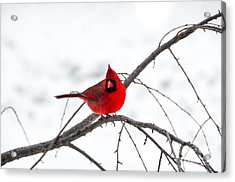 Cardinal On A Branch  Acrylic Print by Mary Carol Story