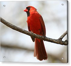 Cardinal On Branch Acrylic Print