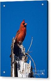 Cardinal On Honeymoon Island Acrylic Print