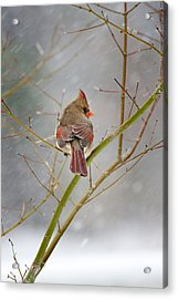 Cardinal On Maple Tree Acrylic Print