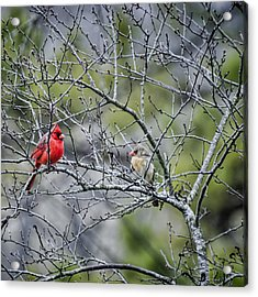 Cardinal Pair Acrylic Print by Heather Applegate