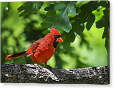 Cardinal Red Acrylic Print by Christina Rollo