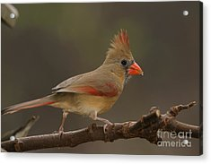 Cardinal Acrylic Print by Russell Christie
