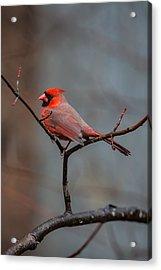 Cardinal Sing Acrylic Print