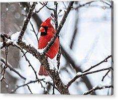 Cardinal Snow Scene Acrylic Print