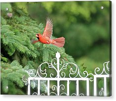 Acrylic Print featuring the photograph Cardinal Time To Soar by Thomas Woolworth