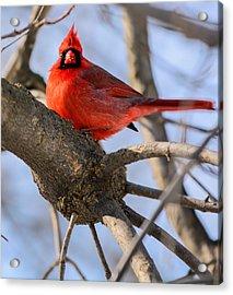 Cardinal Up Close Acrylic Print