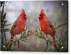 Cardinals In Bottlebrush Acrylic Print by Bonnie Barry