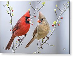 Cardinals In Early Spring Acrylic Print