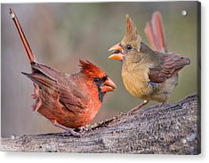 Cardinals On A Windy Day Acrylic Print