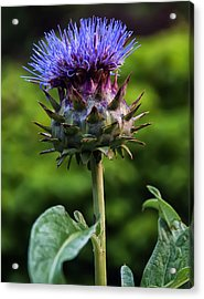 Cardoon Acrylic Print by Chris Flees