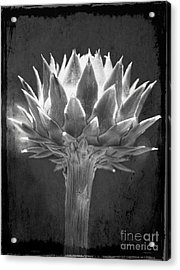 Cardoon Acrylic Print