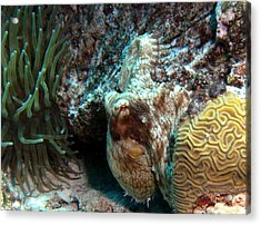 Caribbean Reef Octopus Next To Green Anemone Acrylic Print