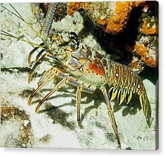 Acrylic Print featuring the photograph Caribbean Spiny Reef Lobster  by Amy McDaniel