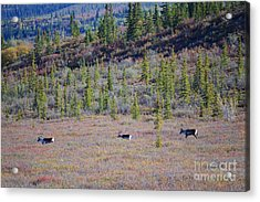 Acrylic Print featuring the photograph Caribou In Alaska by Kate Avery