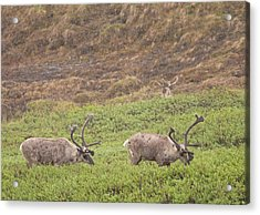 Caribou In The Rain Acrylic Print