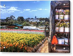 Carlsbad Flower Fields Acrylic Print by Ann Patterson