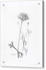 Carlsbad Ranunculus Acrylic Print