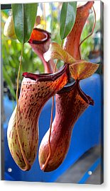 Carnivorous Pitcher Plants Acrylic Print