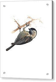 Carolina Chickadee Acrylic Print by Rachel Root