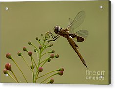 Carolina Saddlebags Acrylic Print