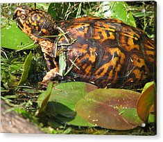 Carolina The Box Turtle In Pond Acrylic Print