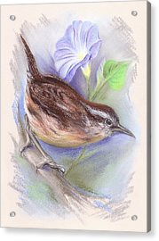 Carolina Wren With Morning Glory Acrylic Print