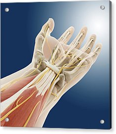 Carpal Tunnel Wrist Anatomy Acrylic Print