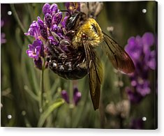 Carpenter Bee On A Lavender Spike Acrylic Print by Ron Pate