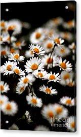 Carpet Of Daisies Acrylic Print