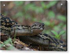 Carpet Snake Acrylic Print by J Cooper