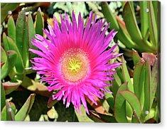 Carpobrotus Acinaciformis Flower Acrylic Print
