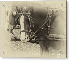 Carriage Horses II Acrylic Print