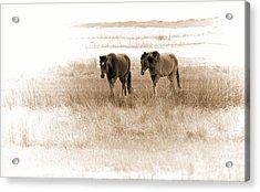 Carrot Island Ponies Acrylic Print
