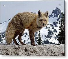 Cascade Red Fox 1 Acrylic Print by Peter Mooyman