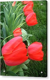Cascading Red Spring Tulips Acrylic Print