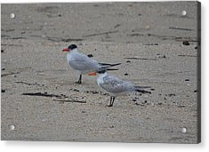 Acrylic Print featuring the photograph Caspian Tern Young And Adult by James Petersen
