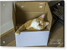 Cat In A Box Acrylic Print by Patricia Hofmeester