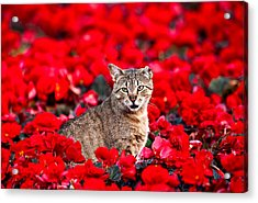 Cat In Red Acrylic Print