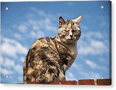 Cat On A Hot Brick Wall Acrylic Print by Steve Purnell