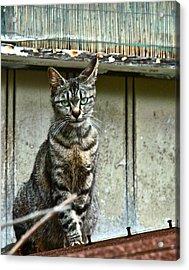 Cat On Roof Acrylic Print