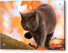 Cat On The Prowl Acrylic Print
