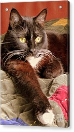 Cat On Velvet Acrylic Print by Maria Scarfone