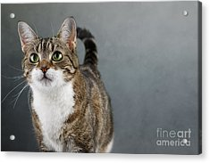 Cat Portrait Acrylic Print by Nailia Schwarz